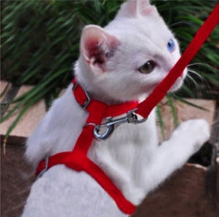 BiEyed White Leashed Cat